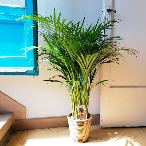 buy-palm-plant-barcelona