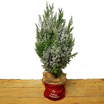christmas-fir-tree