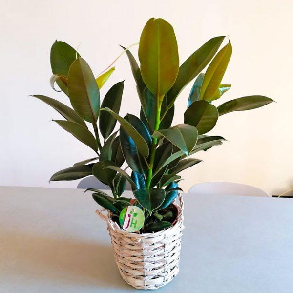ficus-elastica-plant