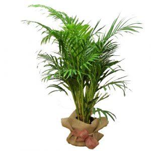 palm-areca-barcelona