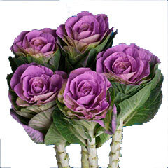 purple-cabbage-flower