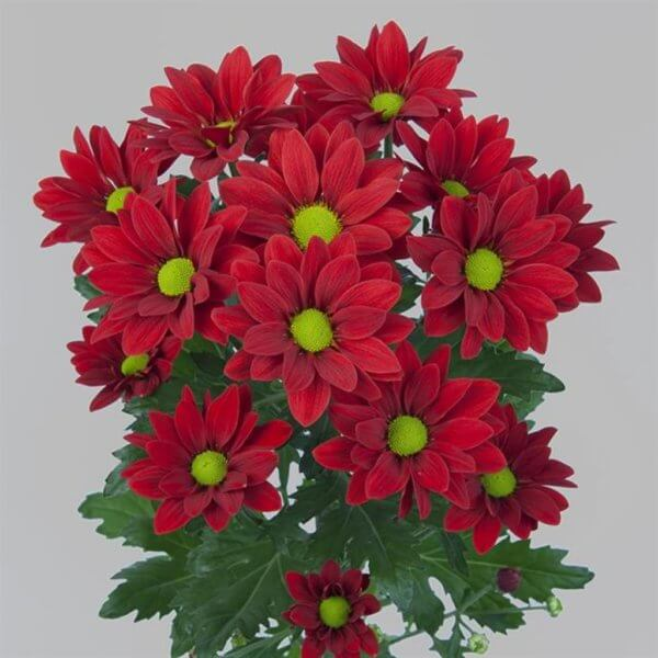 red-daisy-barcelona