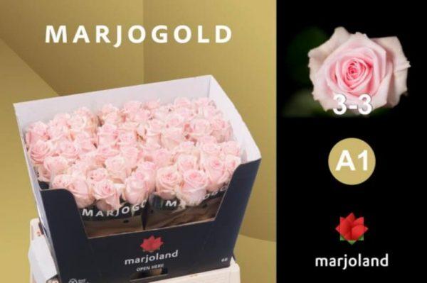 pink-roses-barcelona