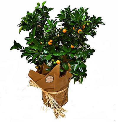 orange-tree-barcelona