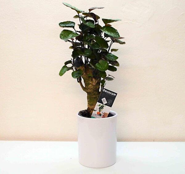 Polyscia plant
