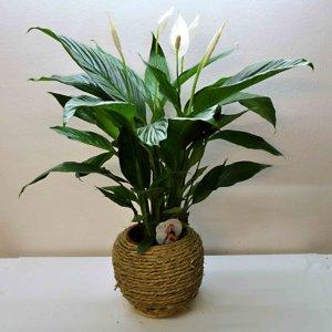 spathiphillium plant barcelon