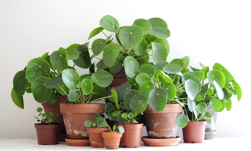 Chinese-Money Plant