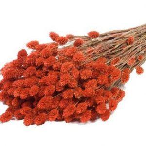 phalaris-orange