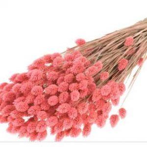 phalaris-pink