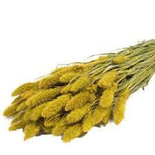 setaria-yellow
