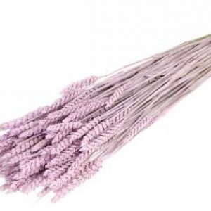 trigo-tarwe-lila-pink