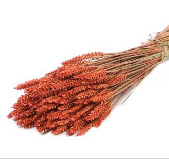 trigo-tarwe-naranja
