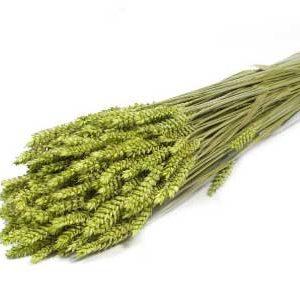 trigo-tarwe-verde