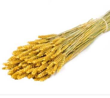trigo-tarwe-yellow