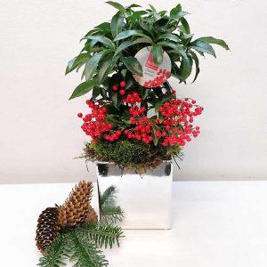 plant-ardissia-barcelona