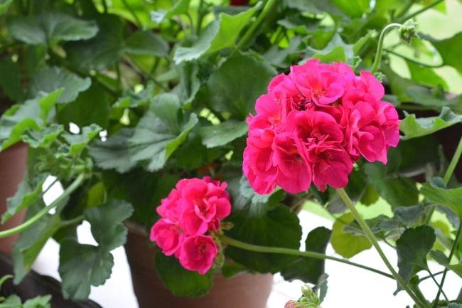 Summer plants