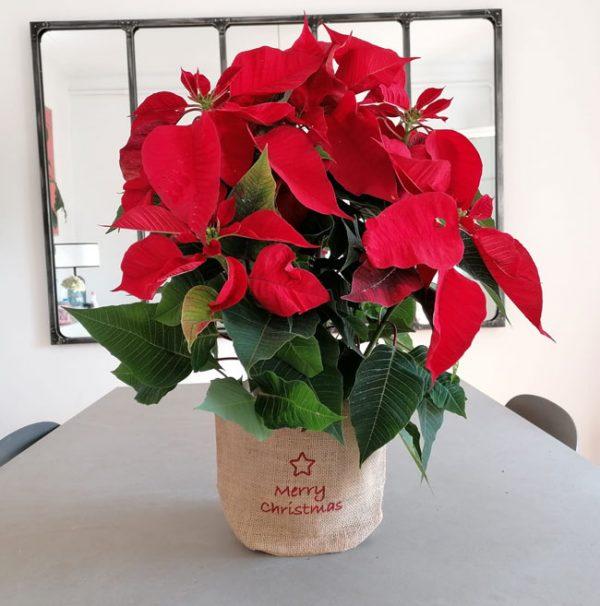 christmas-plant-barcelona.
