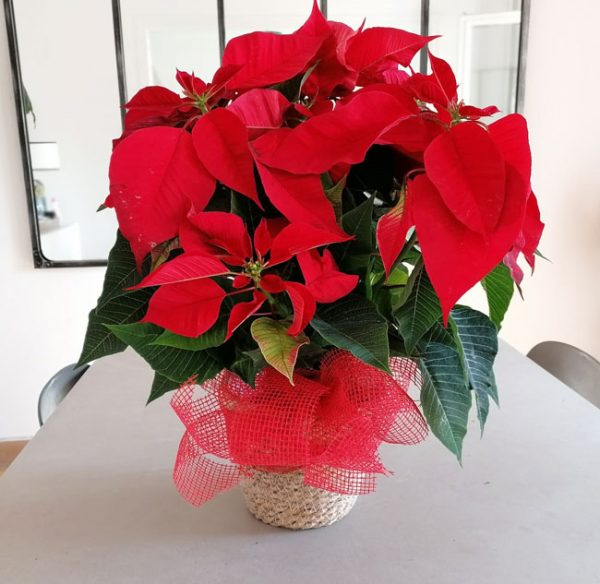 red-christmas-plant