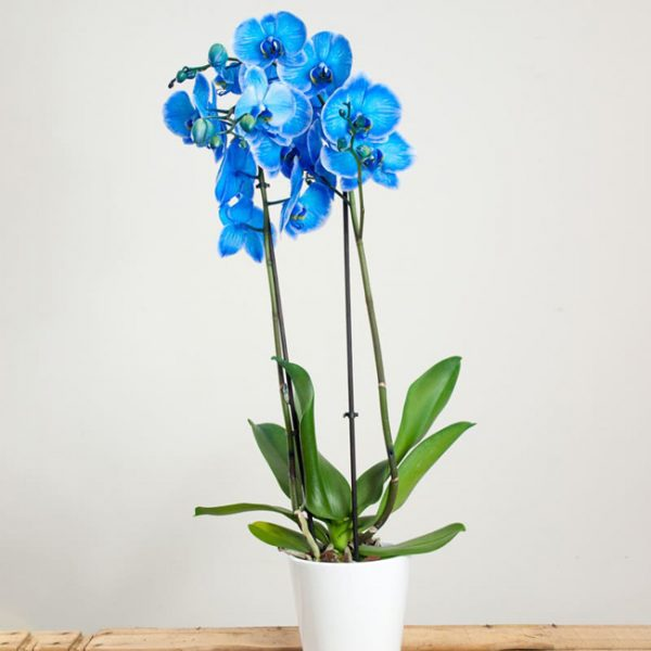 blue-orchid-barcelona