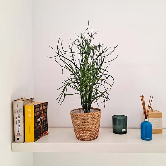 cactus-tirucalli-barcelona