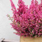 erica-plant-colors