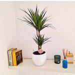 marginata-plant-barcelona